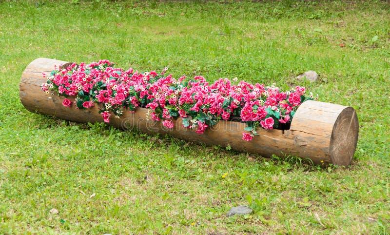 Macizo de flores de begonias rojas y de margaritas blancas en tronco de árbol ahuecado fotos de archivo libres de regalías