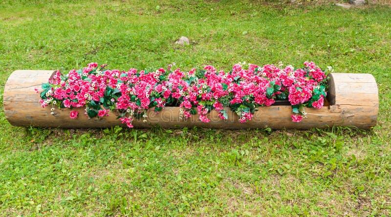 Macizo de flores de begonias rojas y de margaritas blancas en tronco de árbol ahuecado fotografía de archivo libre de regalías