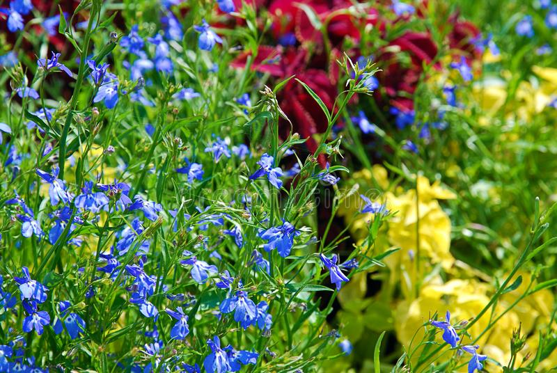 Macizo de flores colorido hermoso del verano con cierre azul del lobelia para arriba imagenes de archivo