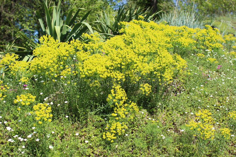Macizo de flores con la planta suculenta - euforbio Cyparissias fotos de archivo