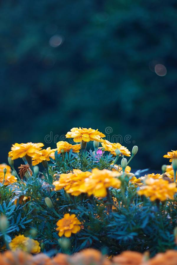 Macizo de flores con las maravillas en fondo azulverde fotos de archivo