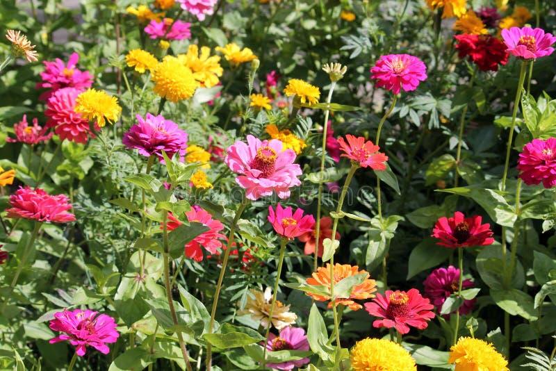 Macizo De Flores Con Las Flores Multicoloras Del Zinnia Flores ...
