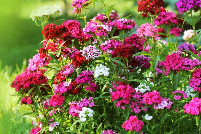 Macizo de flores del barbatus del clavel Foto de color de las flores de Guillermo fotos de archivo libres de regalías
