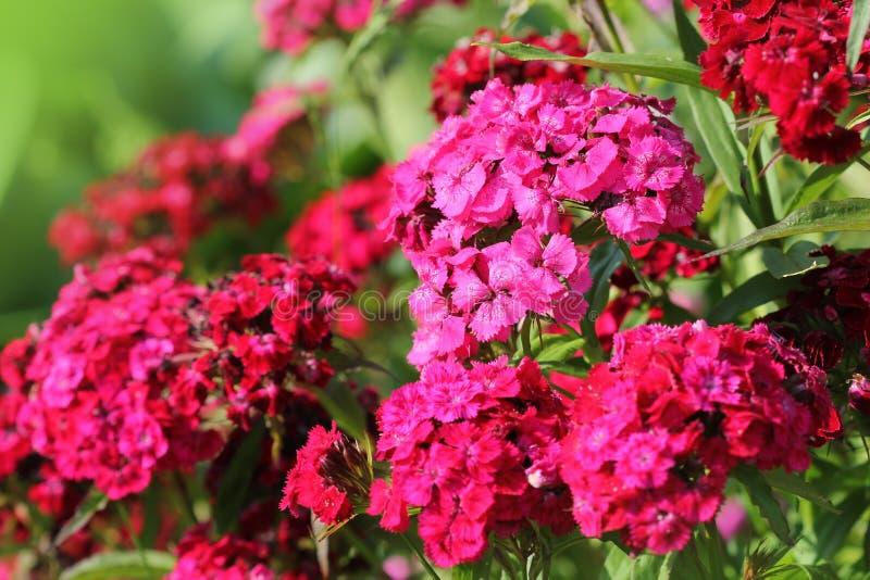 Macizo de flores del barbatus del clavel Foto de color de las flores de Guillermo imagenes de archivo