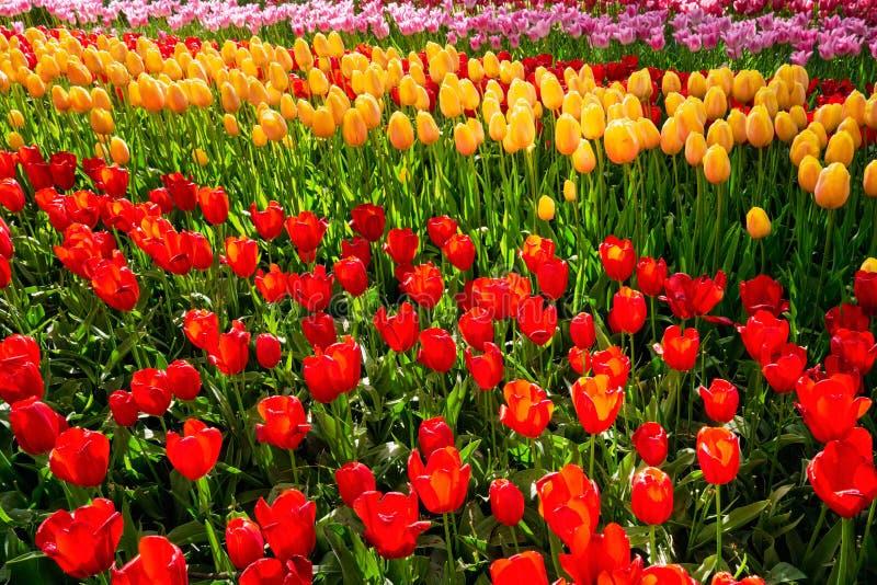 Macizo de flores floreciente de los tulipanes en el jardín de flores de Keukenhof, Netherland imagen de archivo libre de regalías