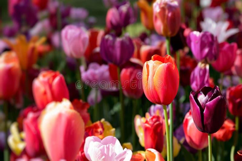 Macizo de flores floreciente de los tulipanes en el jardín de flores de Keukenhof, Netherland foto de archivo libre de regalías