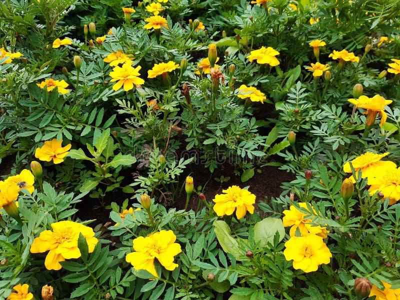 Macizo de flores hermoso con las flores amarillas, fondo floral fotografía de archivo