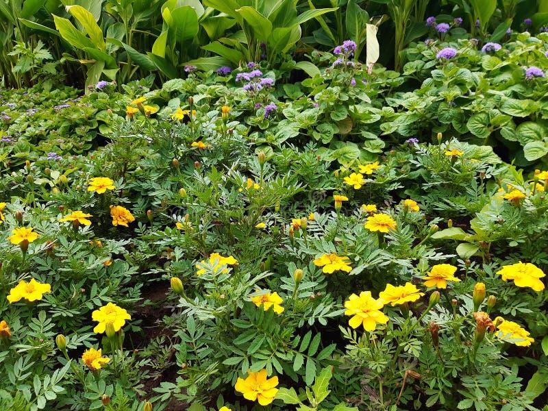 Macizo de flores hermoso con las flores amarillas, fondo floral imagenes de archivo