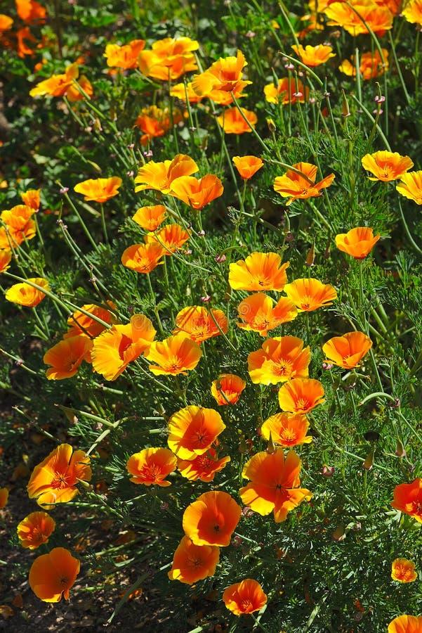 Macizo de flores de las flores anaranjadas del escholtzia fotografía de archivo libre de regalías