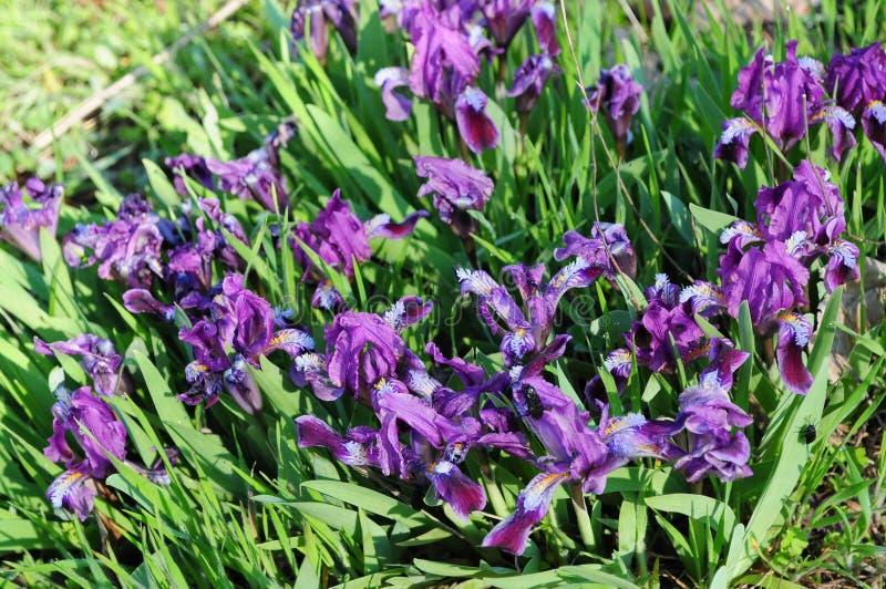 Macizo de flores de las flores minúsculas del iris en primavera foto de archivo libre de regalías