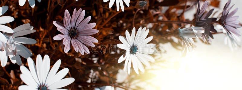 Macizo de flores de Osteospermum imágenes de archivo libres de regalías
