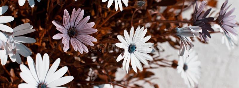 Macizo de flores de Osteospermum foto de archivo libre de regalías