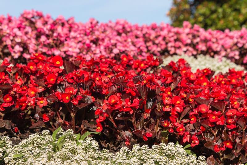 Macizo de flores rojo y rosado de las begonias fotos de archivo