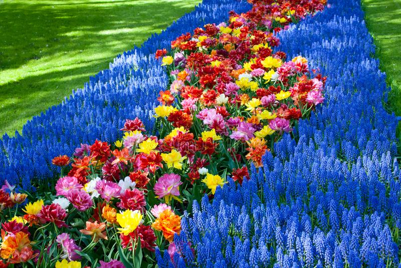 Macizos de flores florecientes de los tulipanes en Keukenhof imagen de archivo libre de regalías