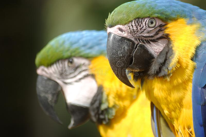 Download Mackaw Parrot stock image. Image of green, parrot, blue - 8897065