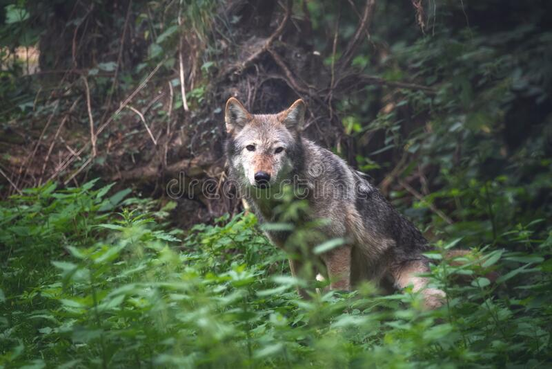 Mackenzie Valley wolf in bosondergroei stock fotografie