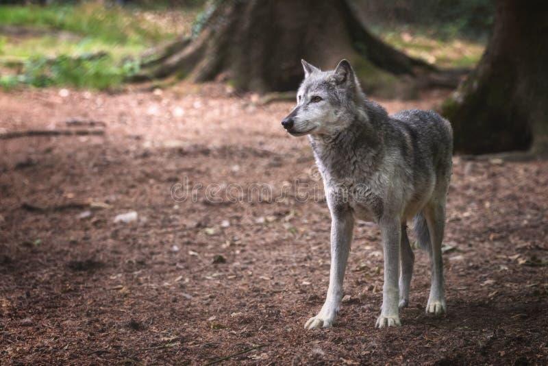 Mackenzie Valley wolf in de bosbouw stock afbeeldingen