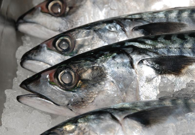 mackeral鱼贩子的冰 库存照片