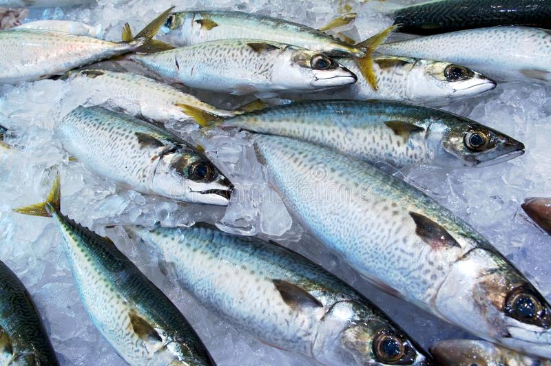 Mackerel. On ice at a fish market stock photos