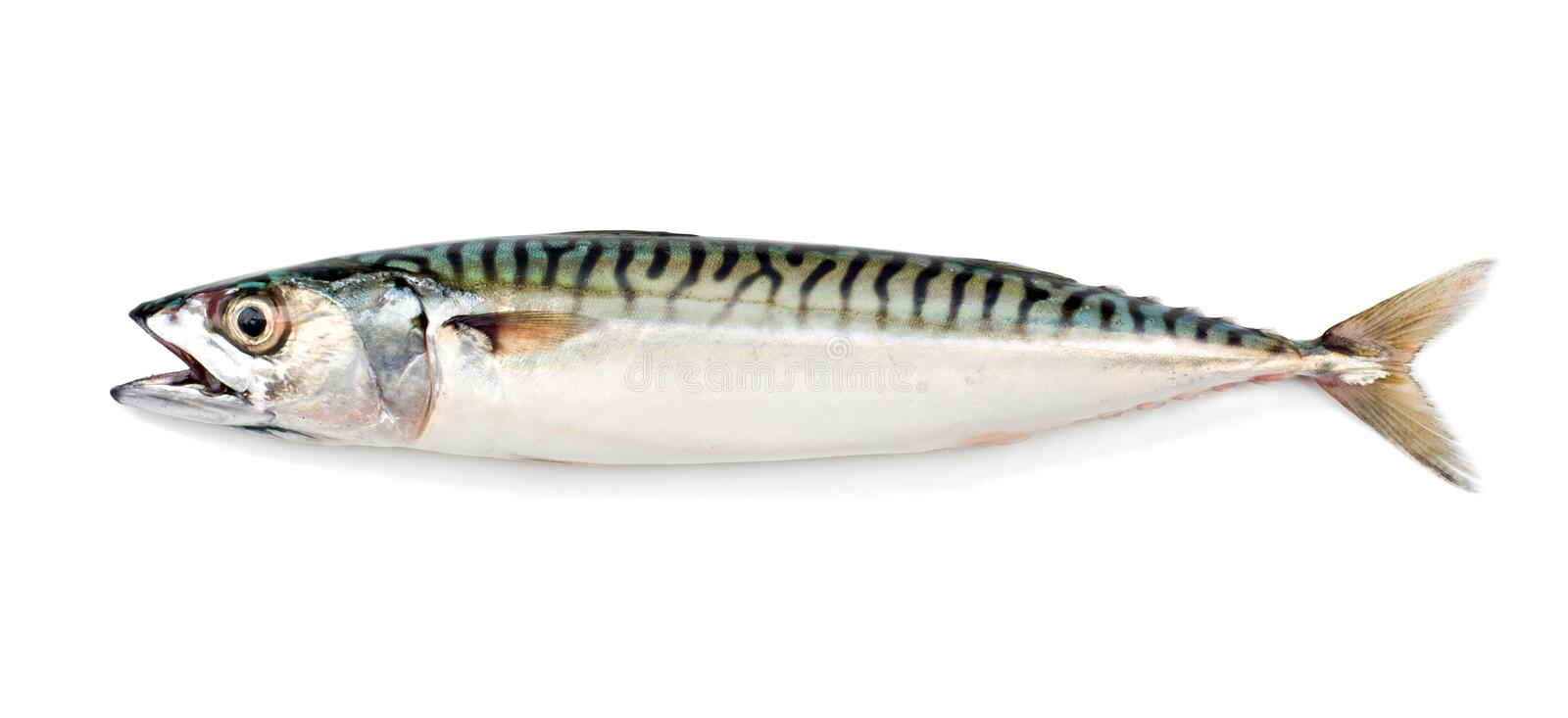 Mackerel Fish royalty free stock photography