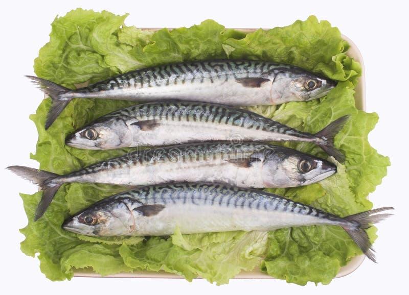 Mackerel ( fish ) royalty free stock images