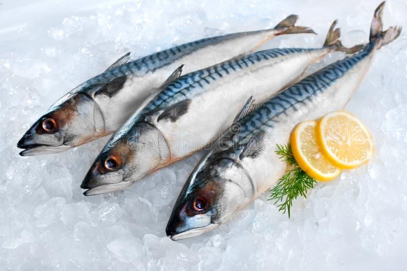 Mackerel fish on ice. Fresh mackerel fish (Scomber scrombrus) on ice