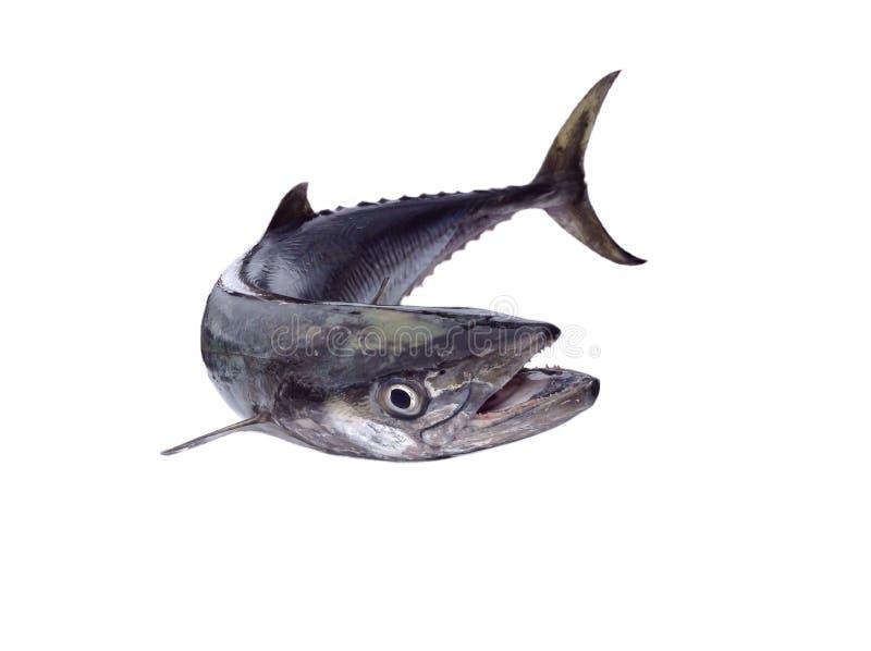 Mackerel fish. Indo-Pacific king mackerels, Spotted mackerels, Seerfish,Scomberomorus stock photo