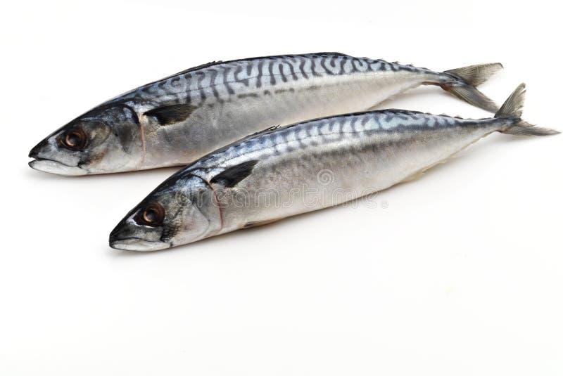 Mackerel. 2 fresh mackerels on White bagground stock photo