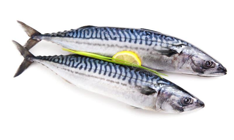 Mackerel raw fishh isolated. Mackerel raw fish isolated on white decorated with lemon royalty free stock photo