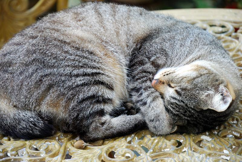 A mackerel tabby cat curled up in a ball sleeping in the day. A photo taken on a mackerel tabby cat curled up in a ball sleeping in the day royalty free stock photography