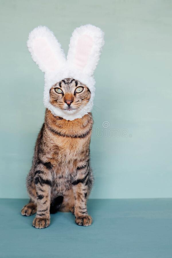 Mackerel tabby kitty dressed as rabbit, close up. Happy Easter. European Shorthair young cat wearing funny bunny ears against pastel green background. Mackerel stock images