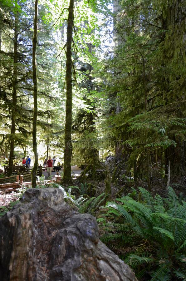 MacMillan Provincial Park, British Columbia, Canada- June 18, 2018. Tourists from all over the world came to see the famous forest. MacMillan Provincial Park stock images