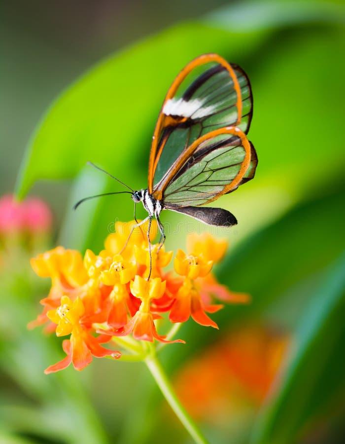 Maco glasswinged бабочки на цветке стоковое фото