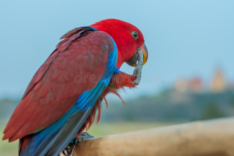 Macorevogel voor het wachten aan praktijkvlieg die wordt neergestreken royalty-vrije stock foto's