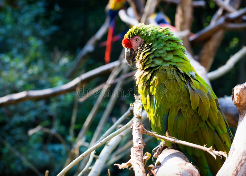 Macow parrot bird royalty free stock image