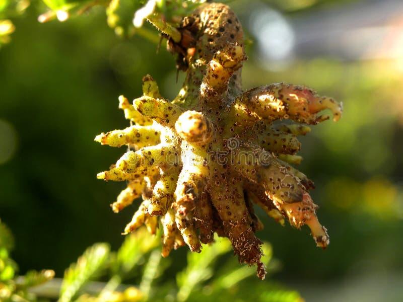 Macowaniana de Ravenelia en un árbol de fiebre foto de archivo libre de regalías
