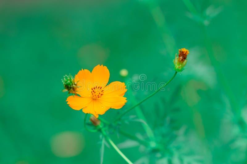 Macro élevé de détail de belle de cosmos petite fleur jaune jaune de jardin image libre de droits