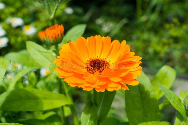 Macro été de calendula jaune dans un jardin photographie stock