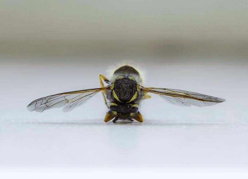 Macro étroit d'une abeille photos libres de droits