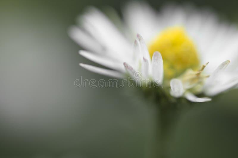 Macro étroit de la fleur de tête de marguerite à l'arrière-plan brouillé d'isolement, motif floral créatif de printemps photos stock