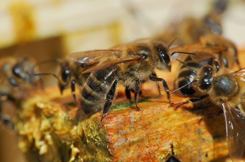 Macro abeille photographie stock