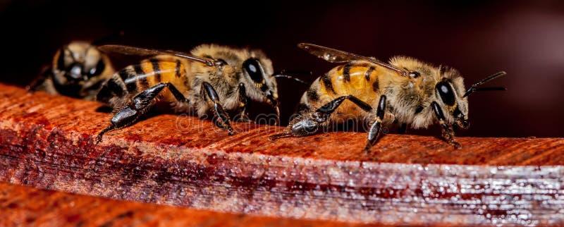 Macro abeilles sur le bord de la cuvette en bois images libres de droits