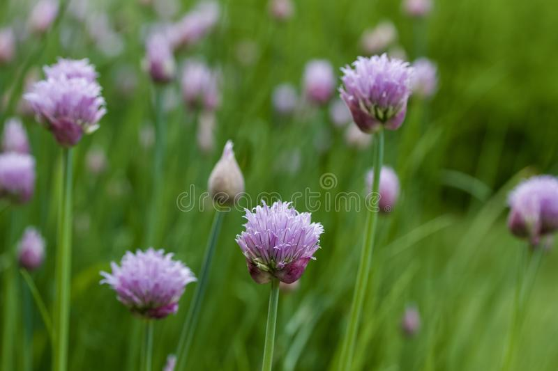 Macro abstract view of a newly budding flowers on chives herb plants royalty free stock image