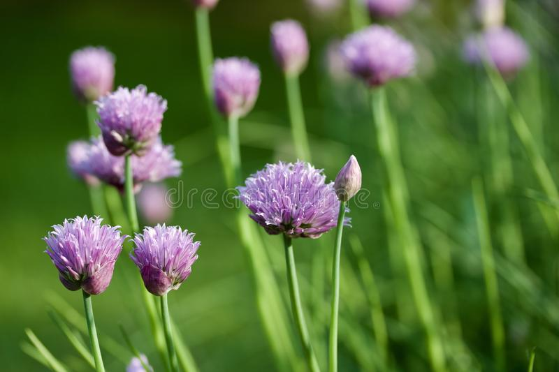 Macro abstract view of newly budding flowers on chives herb plants royalty free stock photo