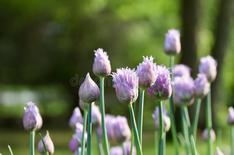 Macro abstract view of newly budding flowers on chives herb plants stock images