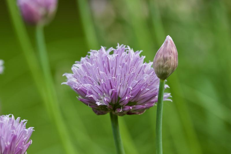 Macro abstract view of newly budding flowers on chives herb plants royalty free stock photos