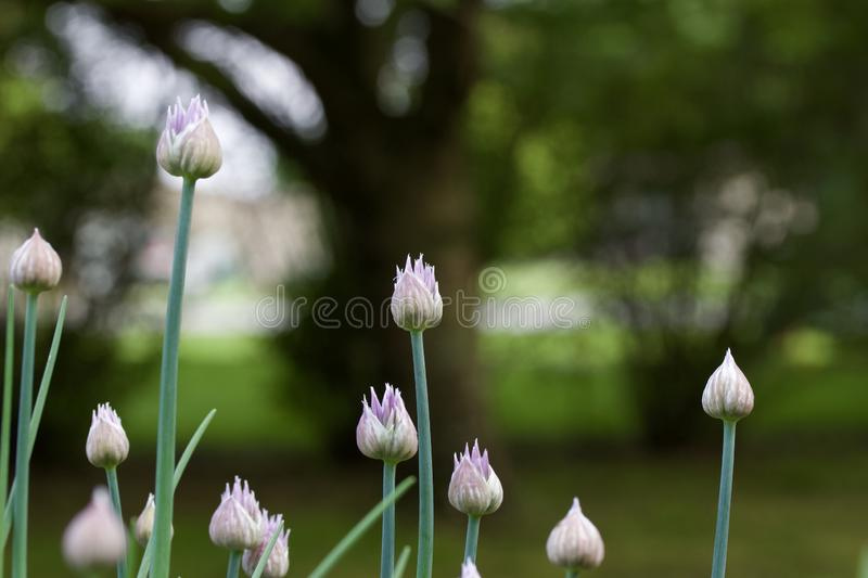 Macro abstract view of newly budding flowers on chives herb plants royalty free stock images