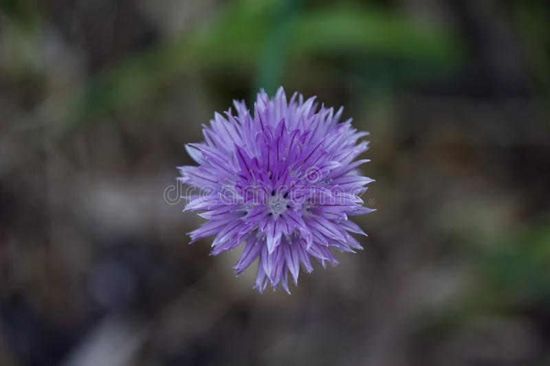 Macro abstract view of a solitary flower on chives herb plant stock photo