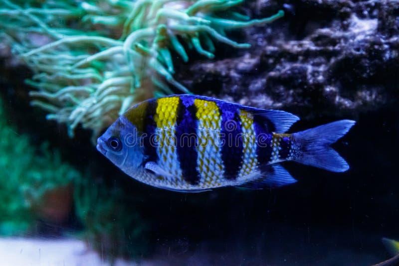 Macro abudefduf saxatilis principale di sergente del pesce fotografia stock