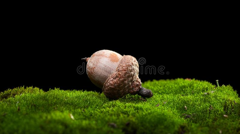 Macro of acorn royalty free stock photos